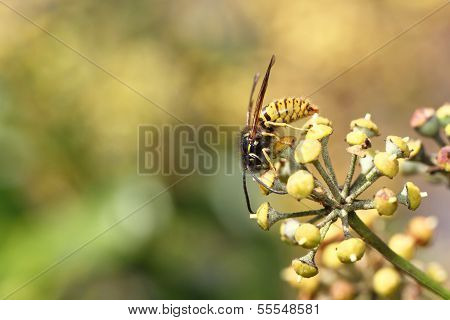Common Wasp (Vespula vulgaris)