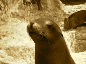This sepia-tinted humorous picture of a smiling contented seal with water and rocks in the background was taken at the Zoo on June 10 2008. poster
