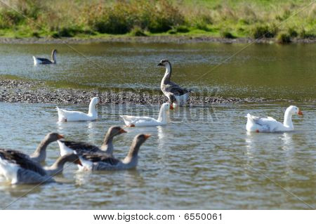 Goose flight with leader