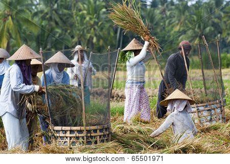 Rice Threshing In Bali, Indonesia