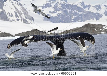 humpback whale tail that dives during feeding in Antarctic Islands poster