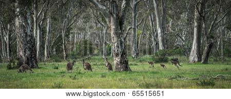 Wild Kangaroos In The Bush