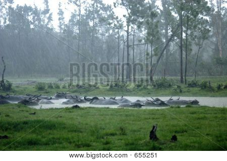 Asiatic Water Buffalo In Rain