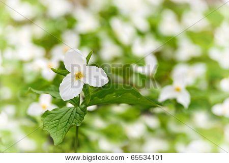 White Trillium Among Many - Shallow
