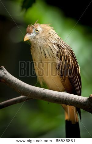 Guira Cuckoo at rest on a branch