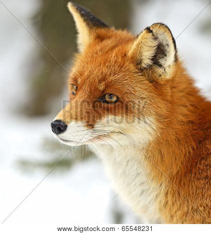 Portrait Foxes