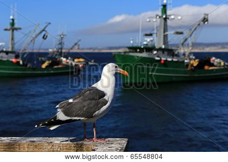 Seagull at Monterey California Wharf