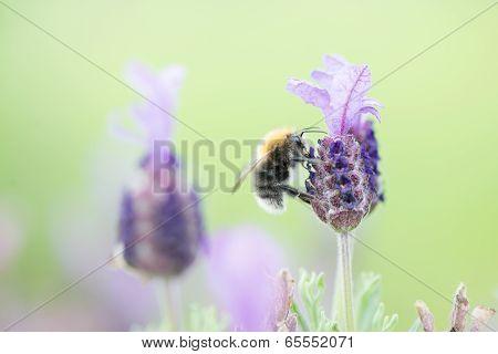 Lavendel Bee