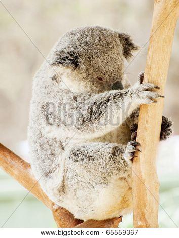 Beautiful koala bear (Phascolarctos cinereus) sitting on the gum tree branch, Victoria, Australia