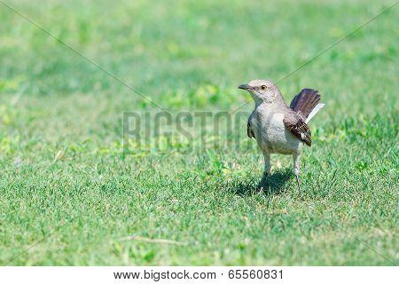 Mockingbird On Grass
