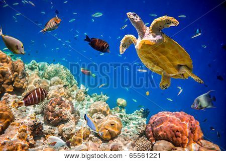 Turtle - Eretmochelys imbricata floats under water. Maldives Indian Ocean.