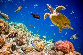 Turtle - Eretmochelys imbricata floats under water. Maldives Indian Ocean. poster