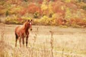Free red horse on the field by autumn forest poster