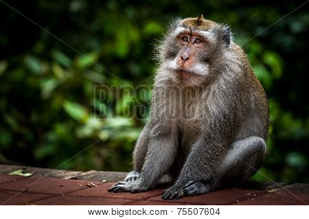 Old Monkey Sitting