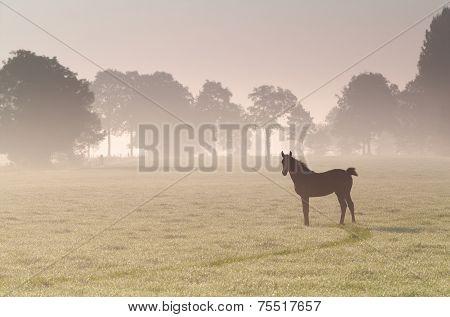 little foal on misty sunrise pasture in summer poster