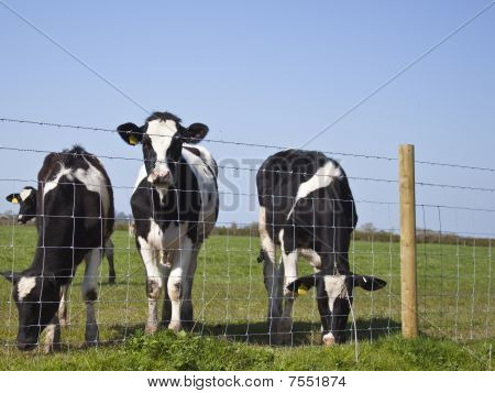 Dairy Cows Stood By A Fence