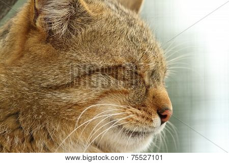 Wildcat Portrait Side View