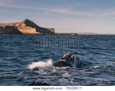 Right Whale Surfacing