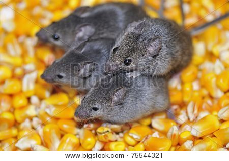 Field Mice.
