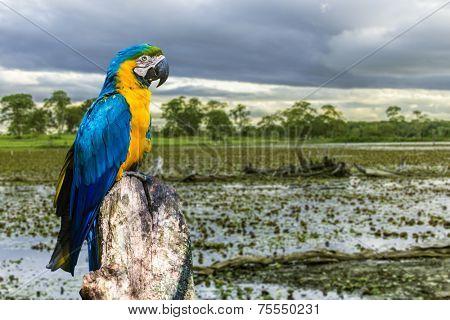 Blue and Yellow Macaw in Pantanal, Brazil - Latin America