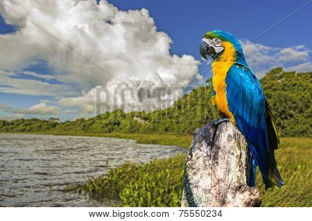Blue and Yellow Macaw in Pantanal. Pantanal is one of the world's largest tropical wetland areas located in Brazil , South America