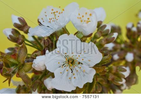 White flowers of a sweet cherry