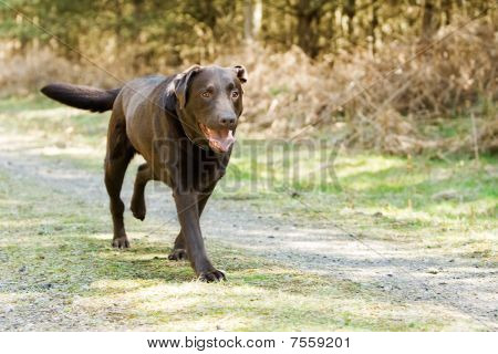 Chocolate Labrador Running In The Countryside