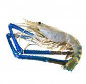 fresh water shrimp prawn isolated on white background poster