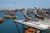 Group of Peruvian Pelicans (Pelecanus thagus) standing on a roof in the fishing harbour of Arica in Northern Chile poster