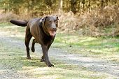 Shot of a Chocolate Labrador Running in the Countryside poster