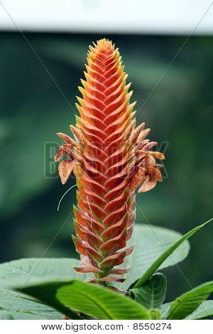 Aphelandra Fuscopunctata