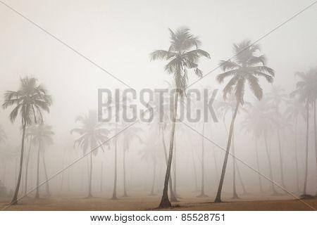 Palms in morning fog in Arambol, Goa, India