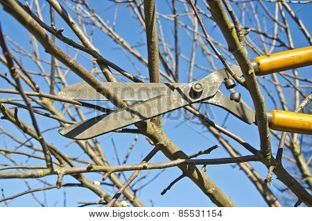 Cut Trim  Fruit Tree Branch With Wintage Clippers Scissor In Spring Garden