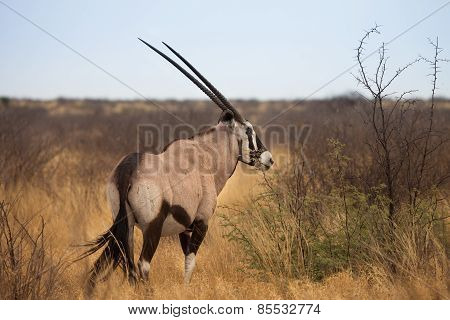 Oryx gazelle at Kalahari Desert, Botswana
