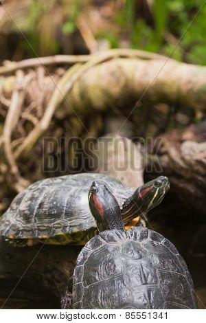 Two terrapin turtles in nature