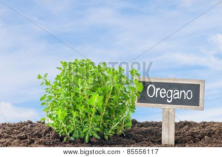 Oregano In The Garden With A Wooden Label