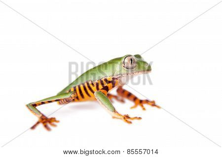 Barred leaf frog isolated on white