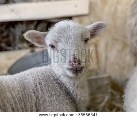 Curious Beautiful Not Shorn Sheep With Lamb With Hay In A Pen For Domestic Farm Animals. Selective F