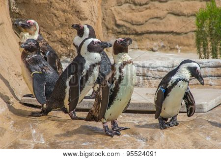 Six magellanic penguins
