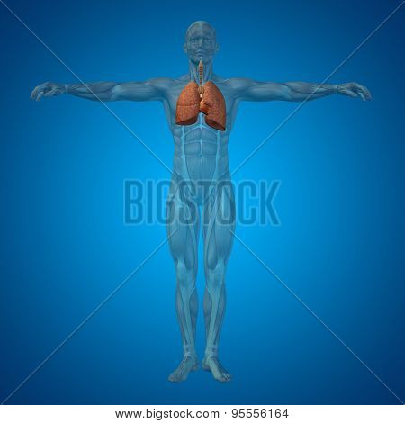 Concept or conceptual anatomical human or man 3D respiratory system on blue background poster