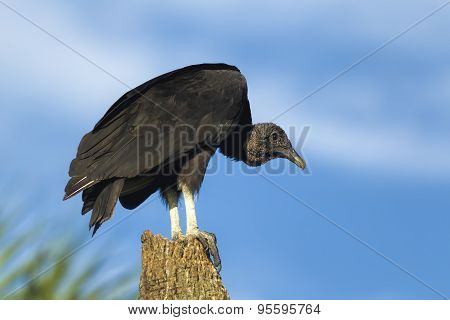 Black Vulture Perched On Tree.