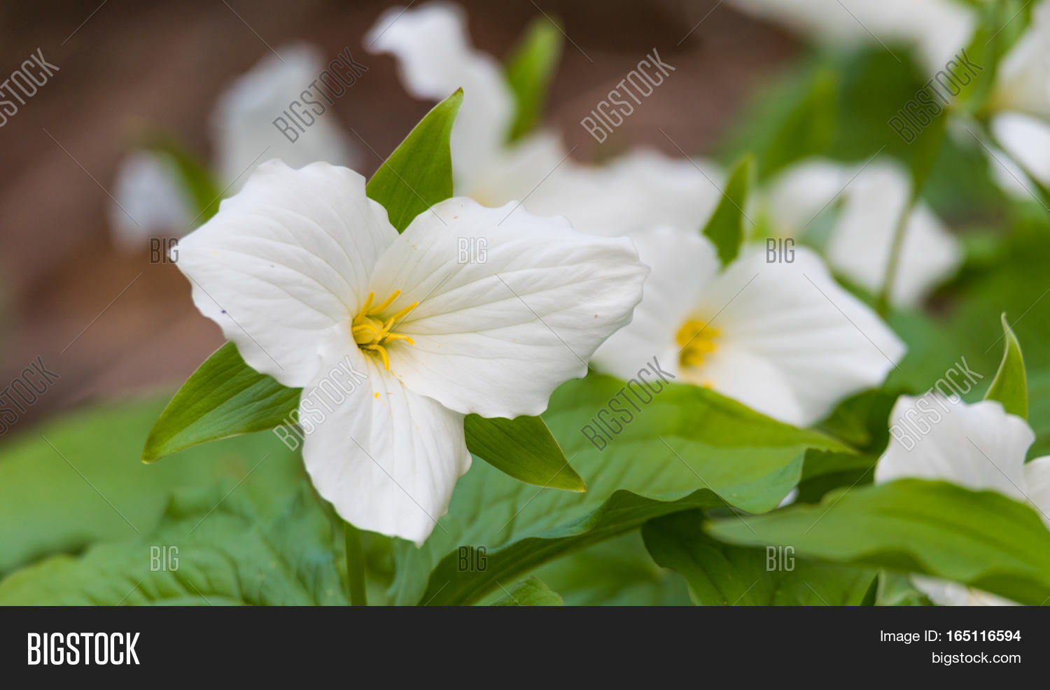 White Petals Large Image Photo Free Trial Bigstock