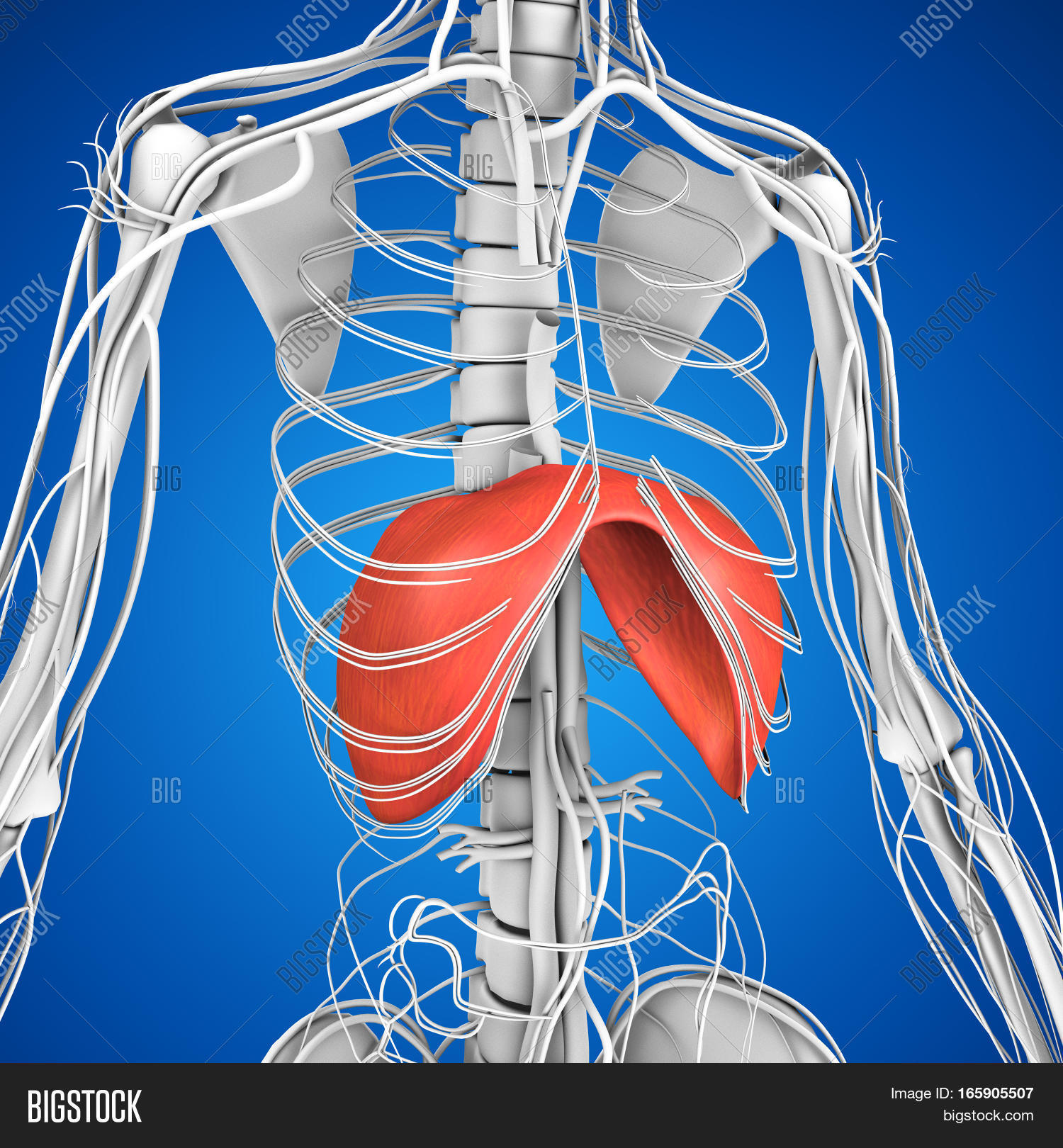 Human Anatomy Image Photo Free Trial Bigstock