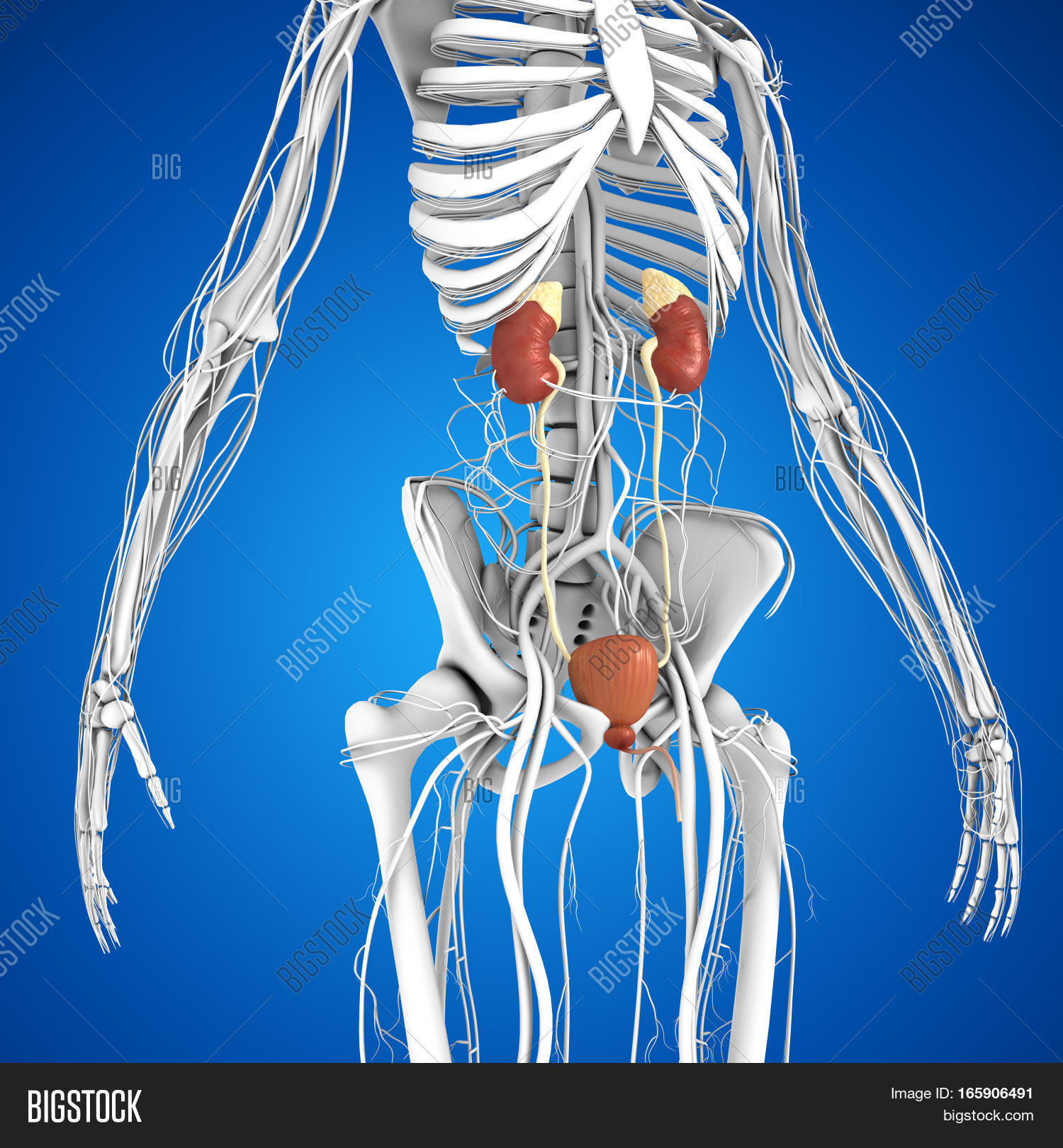 Kidneys Located Image Photo Free Trial Bigstock