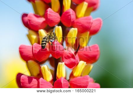 Wild bee pollinating red-yellow flowers of lupine poster