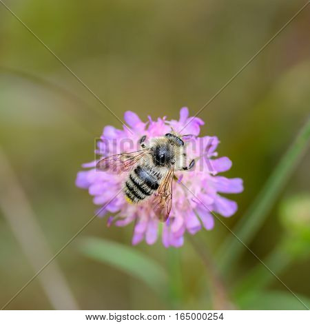 Wild bee pollinate flower of the knautia poster