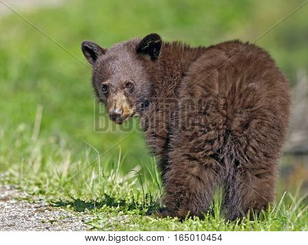 Cinnamon colored Black Bear Cub standing on grass watching