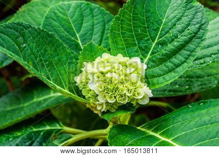 Blooming of While Green Hydrangea Flower .