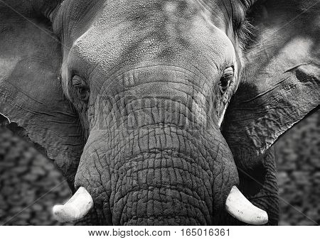 Close up of African elephant, black and white