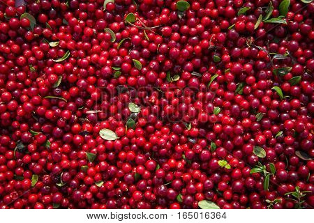 Beautiful ripe red berry cranberries, gathered in the North woods. Very tasty and healthy. The background image